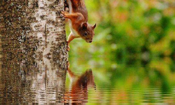 Artikel - Utflykt i skogen (dekorativ bild av en röd ekorre som klättrar ned för en trästam och reflekterar sig i vattnet nedanför)